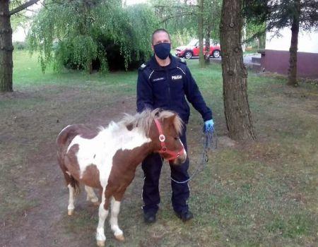 Policjanci szukali właściciela kucyka