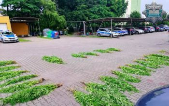 400 krzaków konopi w rękach tomaszowskich policjantów