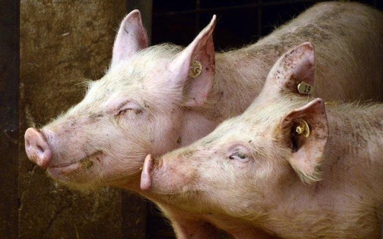 Hodowla świń drastycznie wpływa na nasze środowisko. Co 20. polska świnia pochodzi z piotrkowskiego