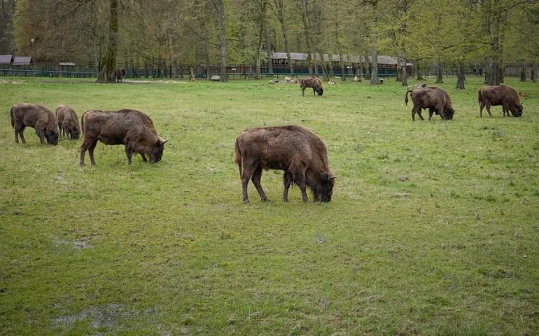 Hodowla żubrów w Smardzewicach zostanie zlikwidowana?